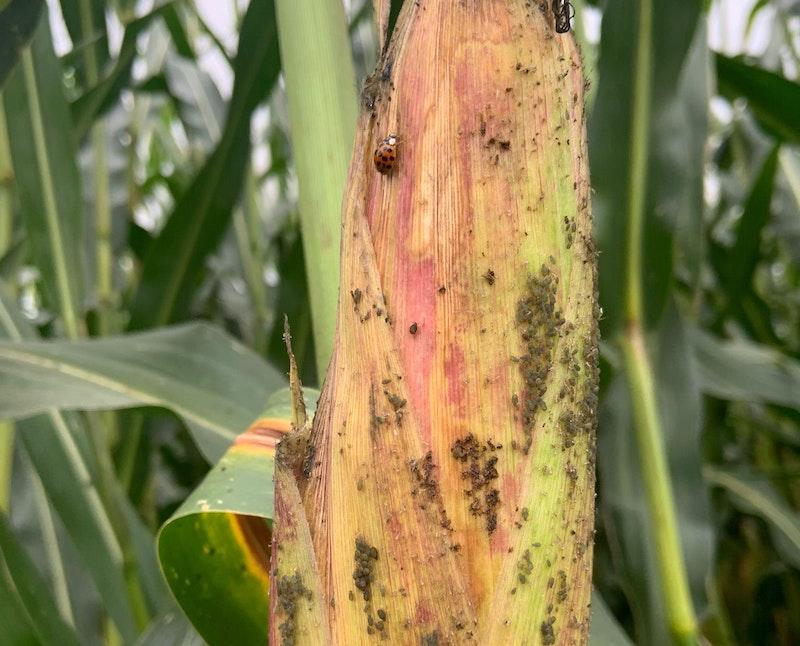 Blattlauskontrolle im Getreide